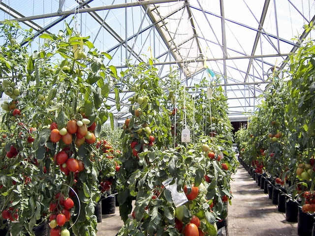 Tomato Greenhouses | Commercial Greenhouses Manufacturer