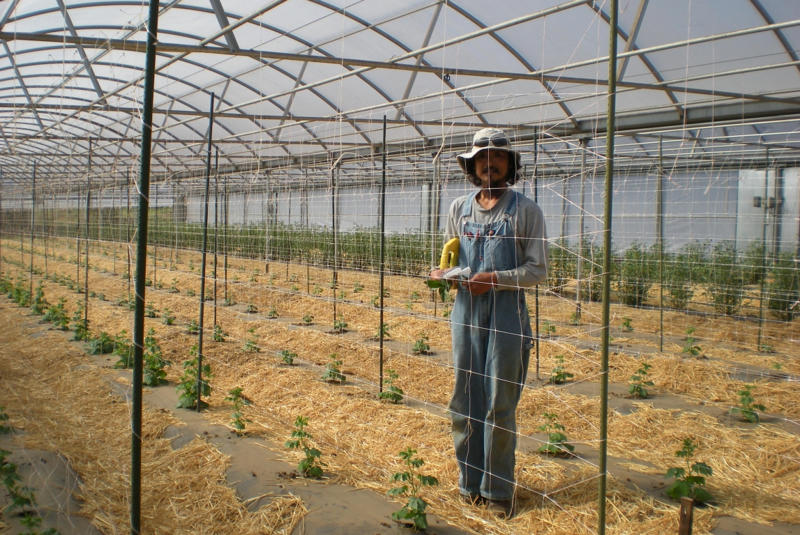 Insulator Greenhouse producing good Harvest at Nijiya Farm | Nijiya Farm | Pala, CA