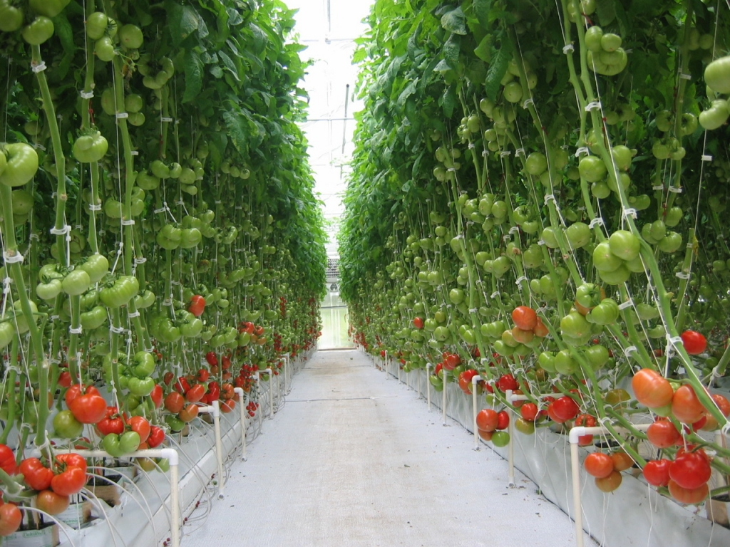 Vegetable Greenhouses | Commercial Greenhouses Manufacturer