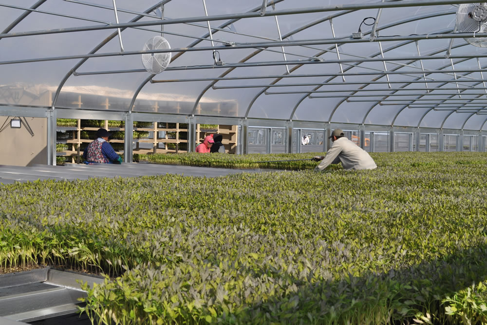 California Transplants Helps Farmers to Get a Growing Start | Commercial Greerhouse Manufacturer