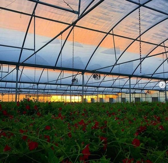 Inside the greenhouses at sunset